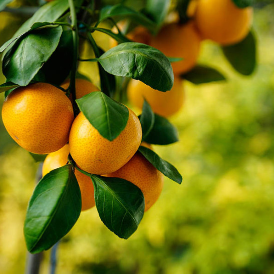Okitsu Satsuma Mandarin Tree For Sale Online The Tree Center