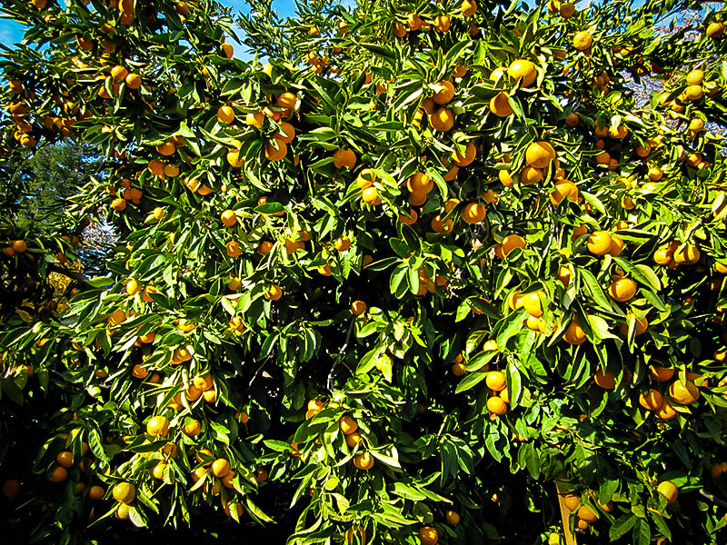 Okitsu Satsuma Mandarin Tree For Sale Online The Tree Center