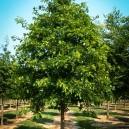 Scarlet Oak Tree