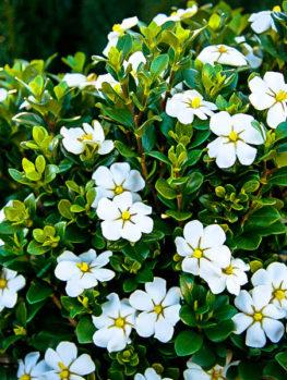 Dwarf Radicans Gardenia For Sale Online The Tree Center