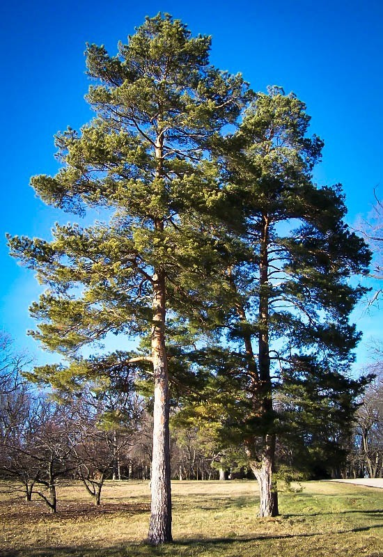 Scots pine the tree center for Mature pine trees