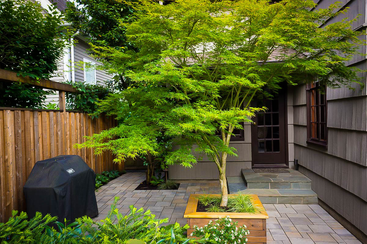 Seiryu Japanese Maple Trees For Sale | The Tree Center™