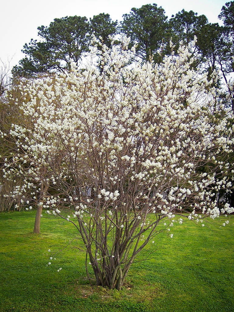Trees Of Santa Cruz County Nyssa Sylvatica: Serviceberry For Sale Online