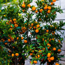 Seto Satsuma Tree