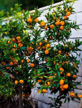 Seto Satsuma Orange Tree