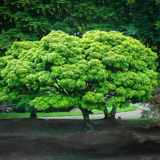 Sharp 39 s pygmy japanese maple for sale online the tree center for Maple trees for sale