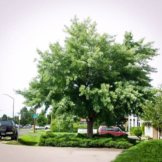 Silver maple tree for sale the tree center for Maple trees for sale