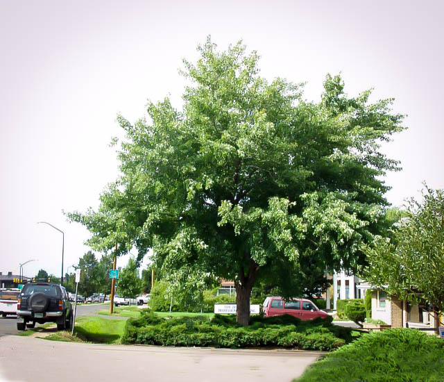 Silver Maple Tree For Sale Online The Tree Center