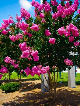 Buy crepe myrtle trees crape myrtle trees for sale the for Cespugli fioriti per giardino