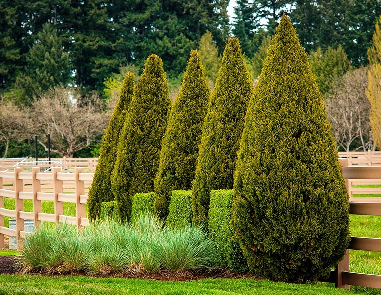 Buy Spartan Juniper Trees Online The Tree Center