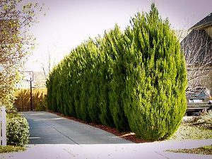 Spartan Juniper Trees Privacy Screen