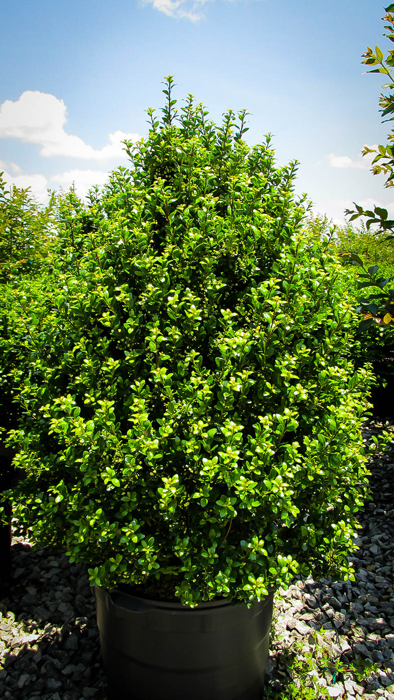 Steeds Upright Japanese Holly For Sale Online The Tree