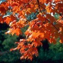 Sugar Maple Tree Leaves