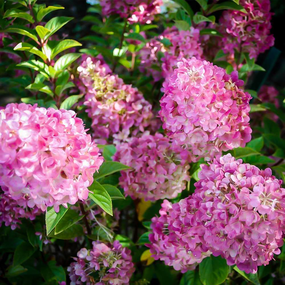 Sunday Fraise Hydrangea For Sale Online The Tree Center