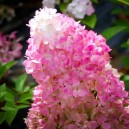 Sunday Fraise Hydrangea Flower