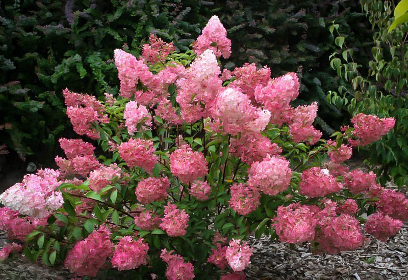 Sunday Fraise Hydrangea For Sale Online | The Tree Center