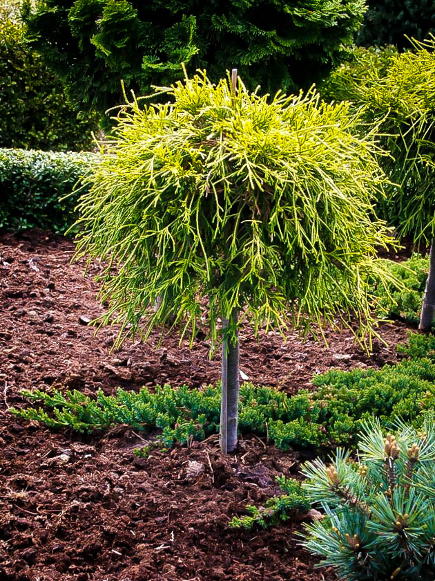 Sungold Sawara Cypress Tree Form For Sale Online The