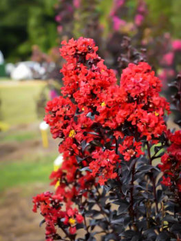 Sunset Magic™ Crape Myrtle