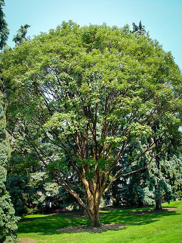Sweetbay Magnolia For Sale Online | The Tree Center