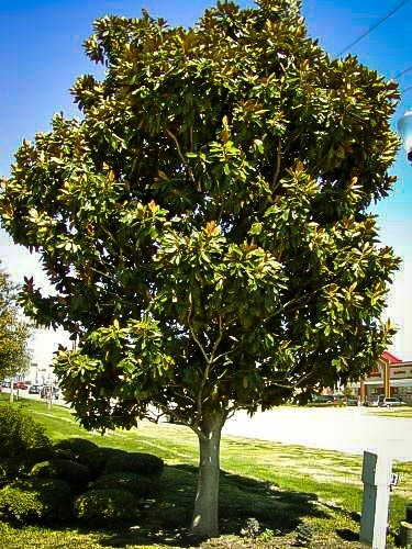 Sweetbay Magnolia For Sale Online The Tree Center