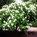 Tardiva White Hydrangea