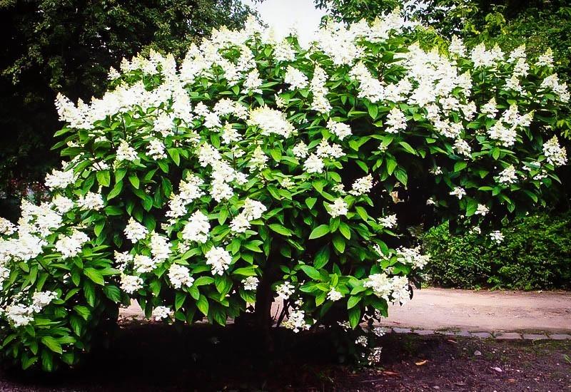 White Magnolia Bush