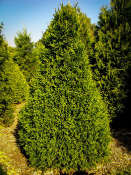 Buy thuja trees online the tree center for Small sized evergreen trees