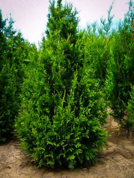Thuja Can Can
