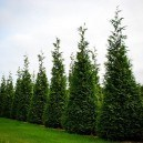 Thuja Green Giant Privacy Screen