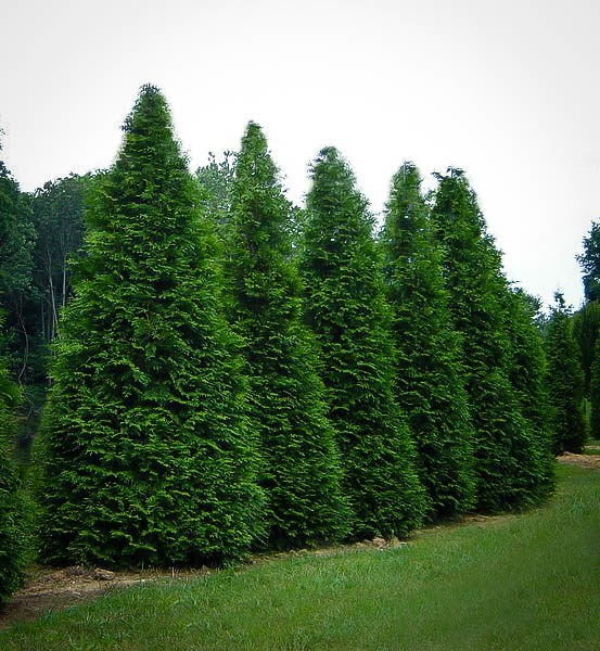 Thuja green giant buy arborvitae trees for Green giant arborvitae