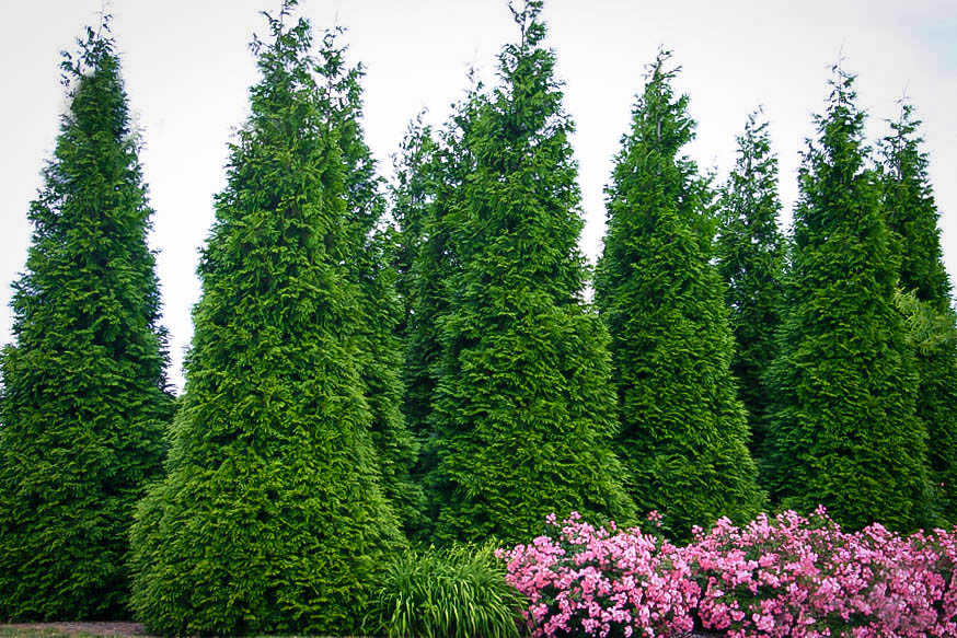 Thuja green giant trees for sale the tree center - Arboles de jardin de hoja perenne ...