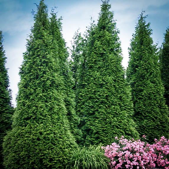 buy thuja green giants thuja trees for sale the tree center. Black Bedroom Furniture Sets. Home Design Ideas