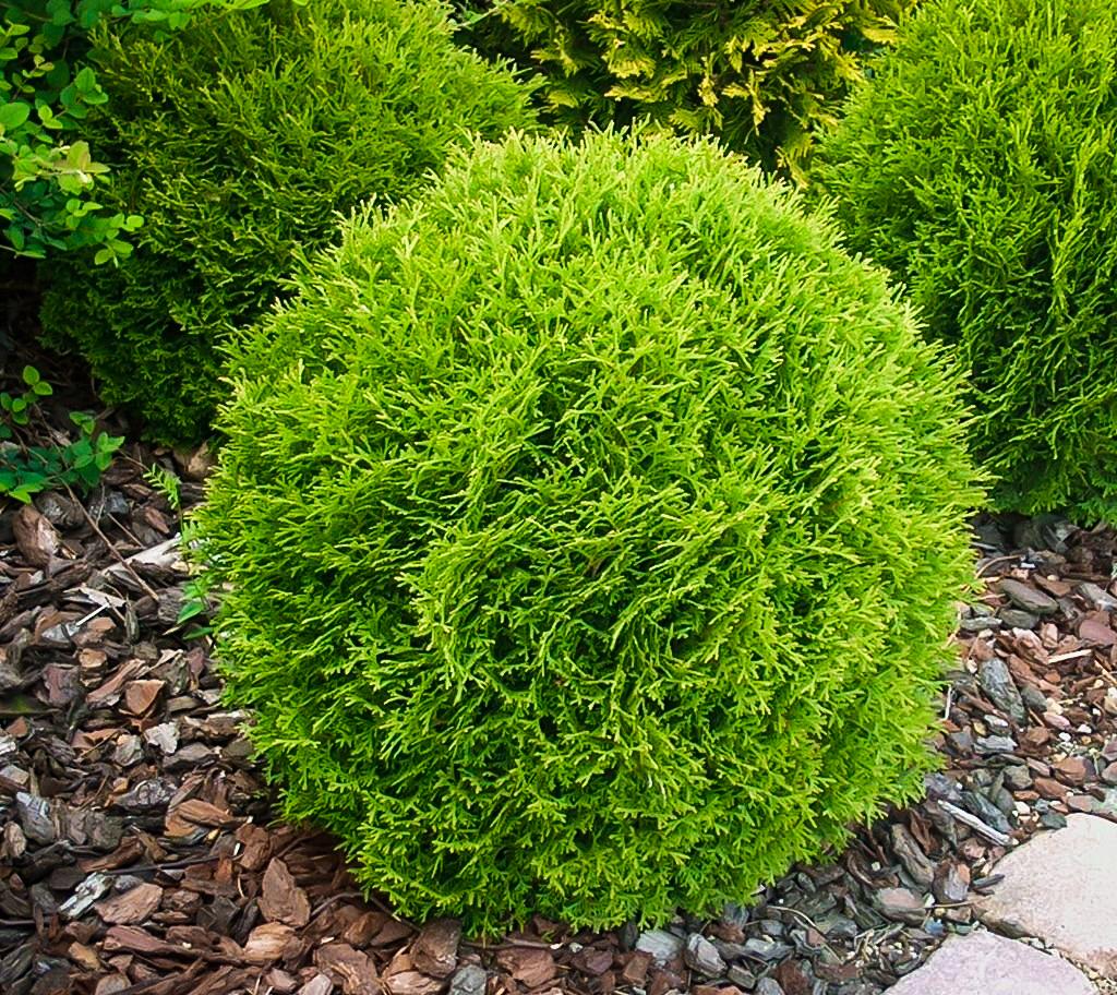 Little Giant Arborvitae Shrubs For Sale The Tree Center