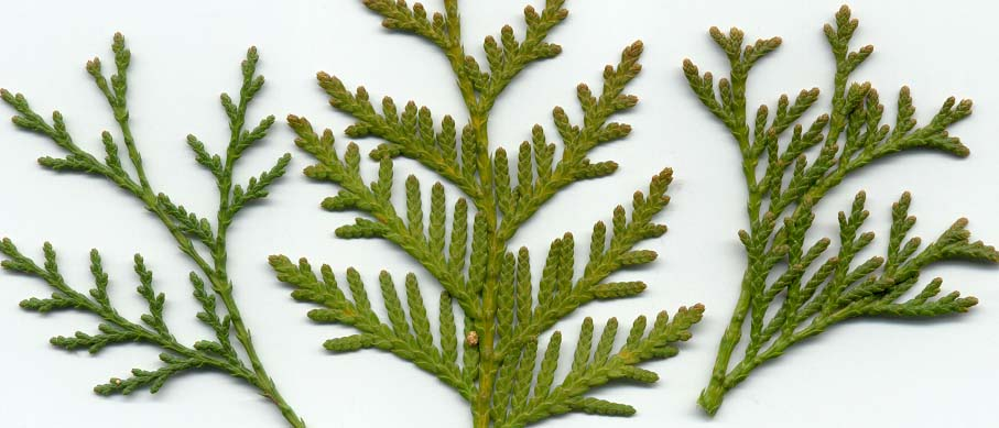 Thuja Occidentalis Foliage