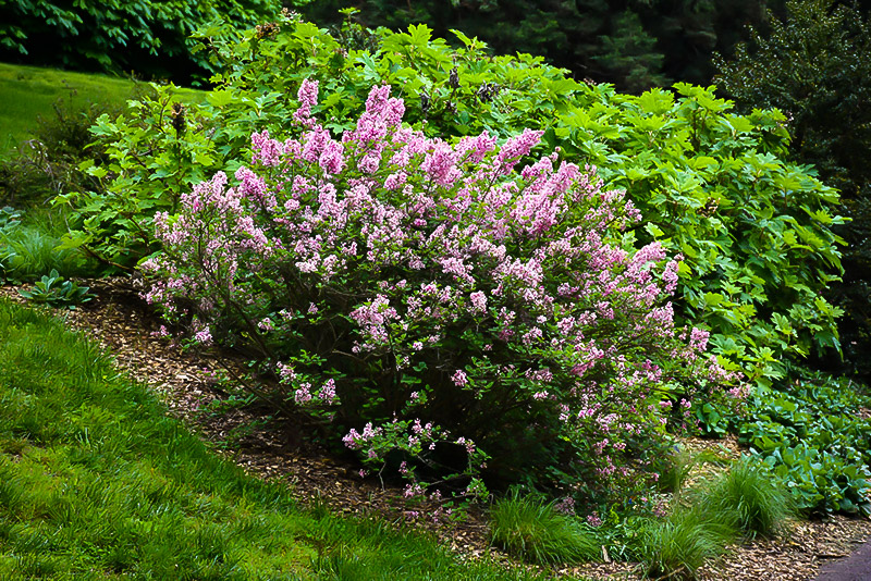 Tinkerbelle 174 Lilac Bushes For Sale The Tree Center