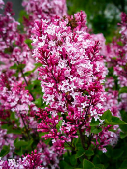 Tinkerbelle® Lilac