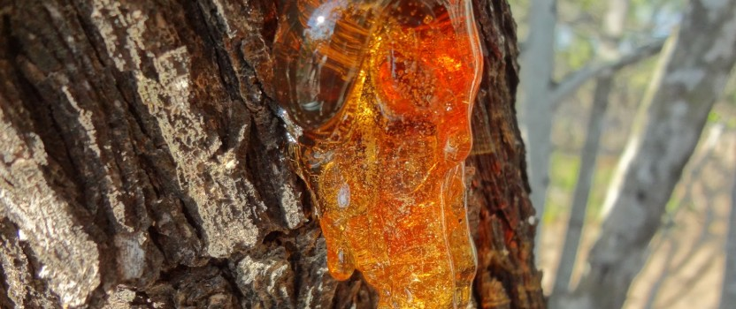 What Is Tree Sap?