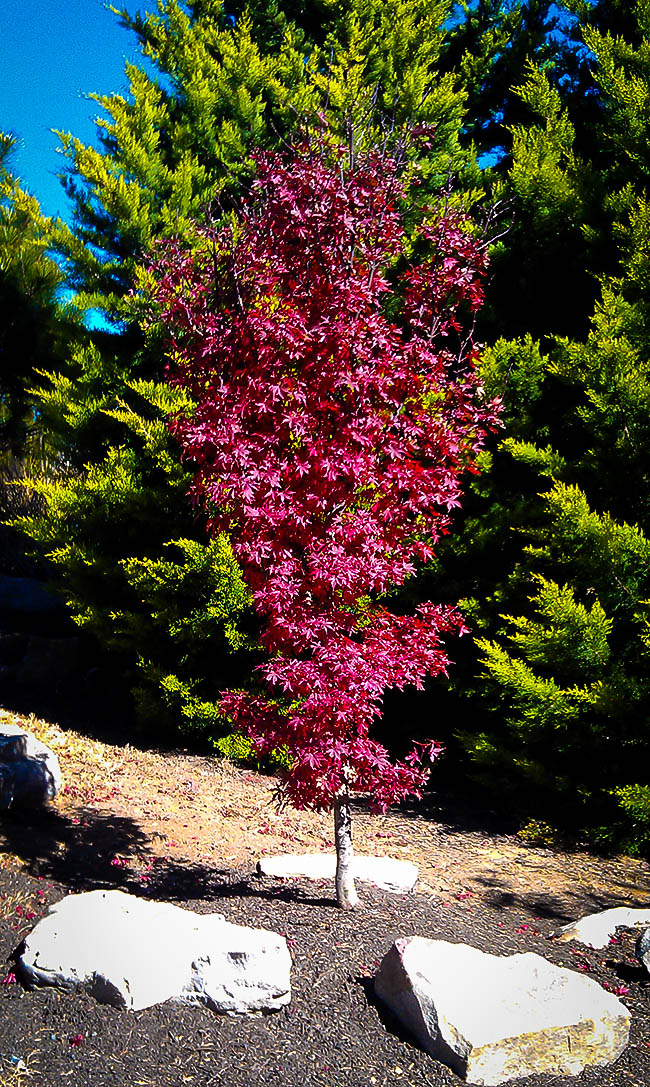 Japanese Maple Trees Buy Japanese Maple Trees The Tree Center