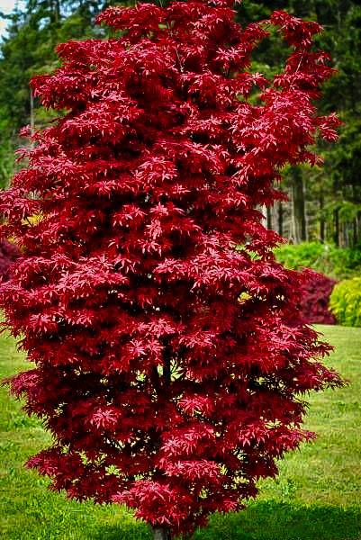 Mature red bush