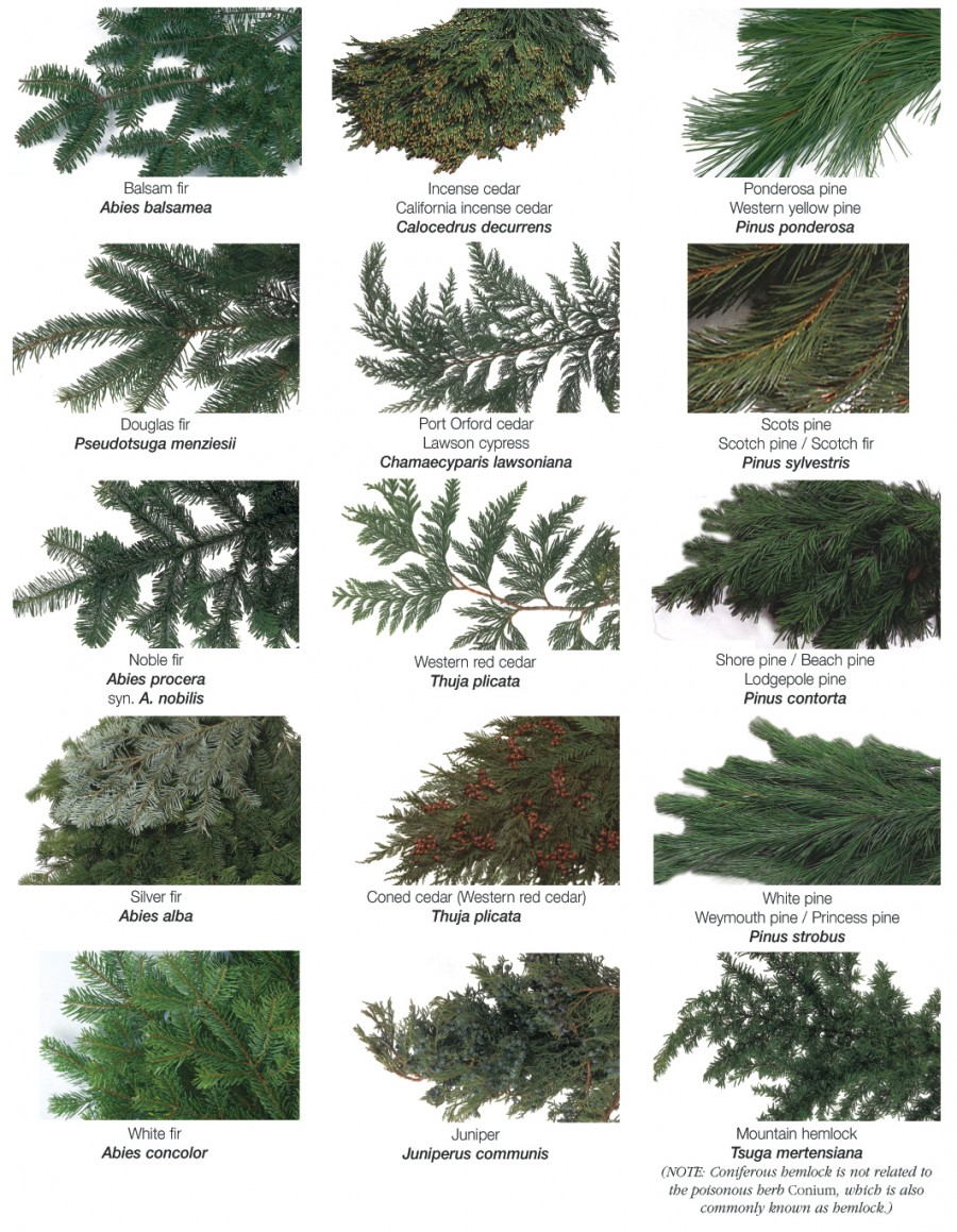names of evergreen trees, Natural flower
