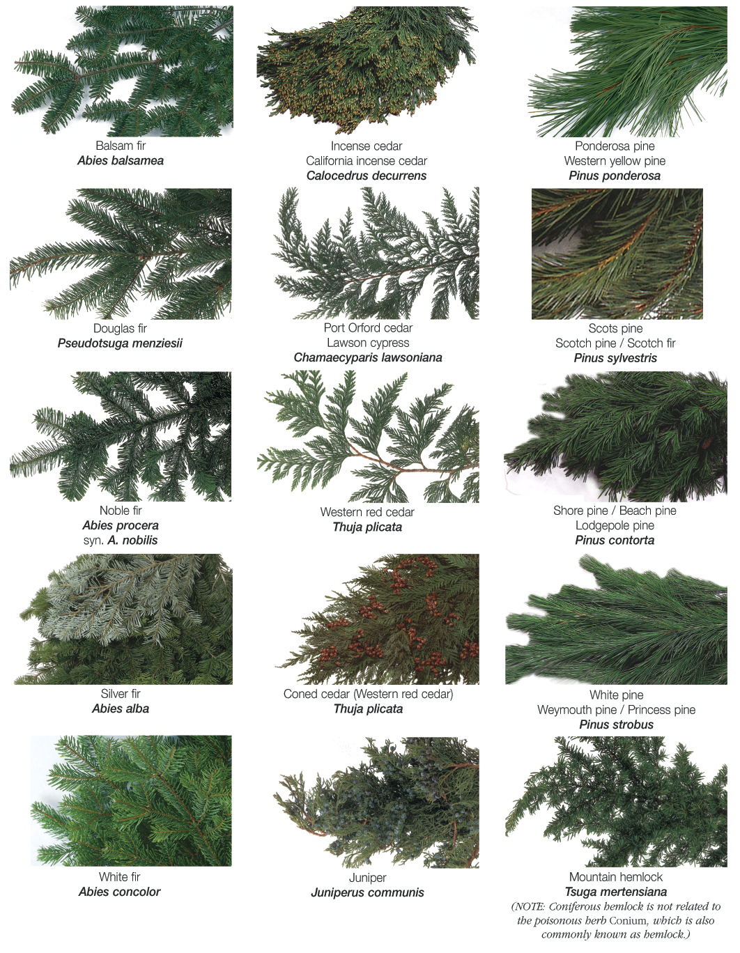 Different types of evergreen trees for The evergreen