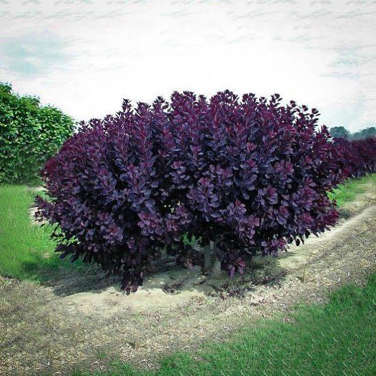 Velvet Cloak Smoke Tree