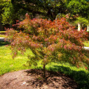 Villa Taranto Japanese Maple Tree