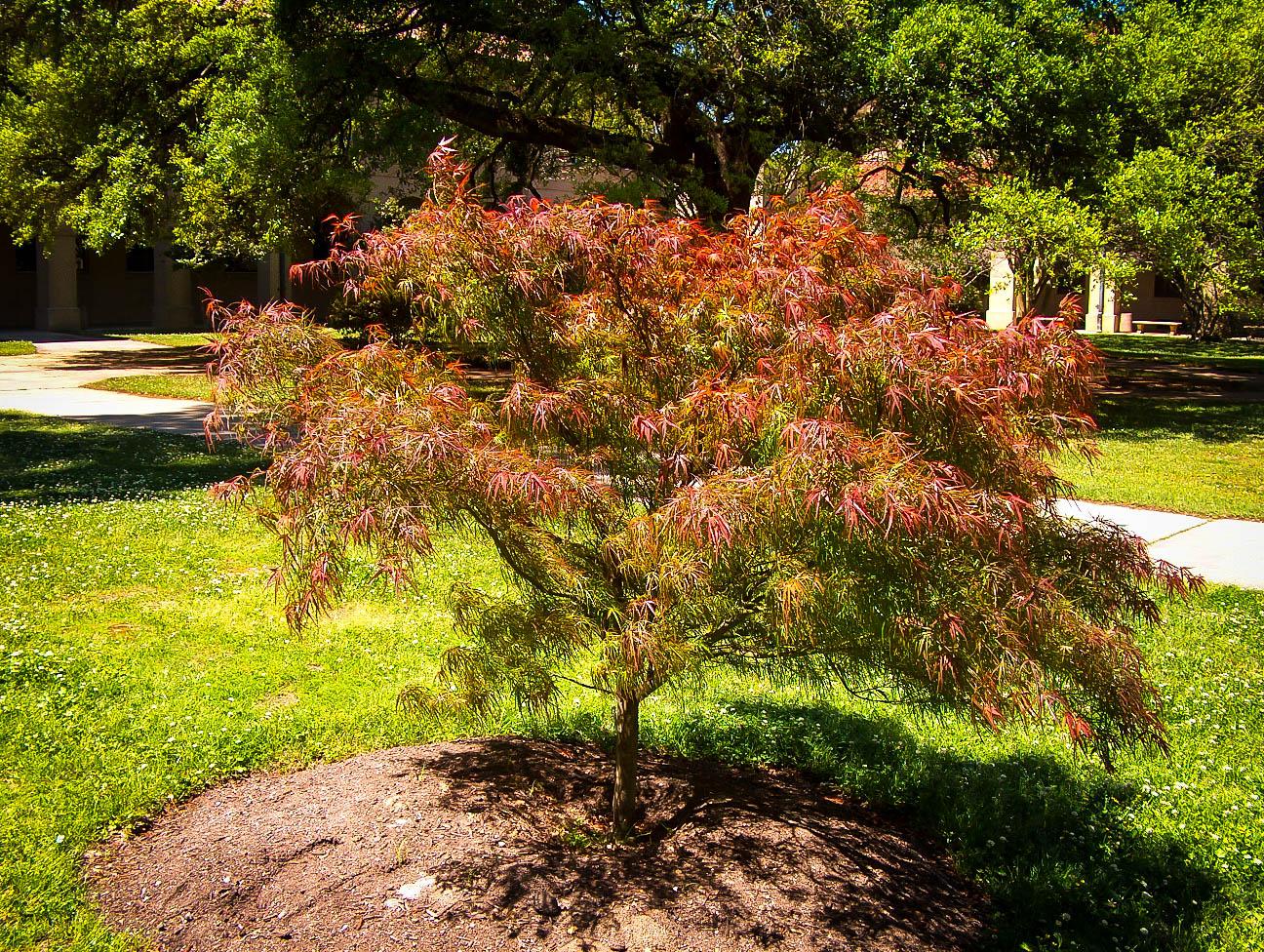 Villa Taranto Japanese Maple For Sale Online | The Tree Center