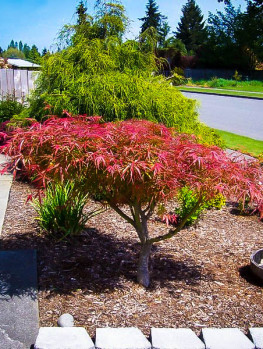 Buy japanese maple trees the tree center for Maple trees for small gardens