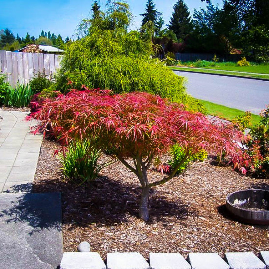 Villa taranto japanese maple for sale online the tree center for Maple trees for sale