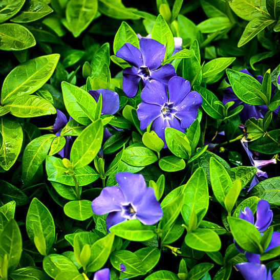vinca-minor-bowles-1-547x547 Palm Tree Houseplants on palm tree vegetable, palm tree shrub, palm tree evergreen, palm tree outdoor, palm tree nature, palm tree seedlings, palm tree tree, palm tree floral, palm tree bonsai, palm tree food, palm tree vines, palm tree planting detail, palm tree bamboo, palm tree lawn, palm tree fossil, palm tree water, palm tree nursery, palm tree wreath, palm tree green, palm tree roses,