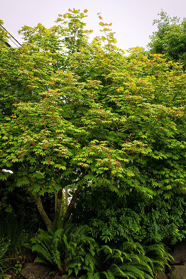 Japanese Vine Maple The Tree Center