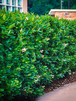Image result for privet hedges
