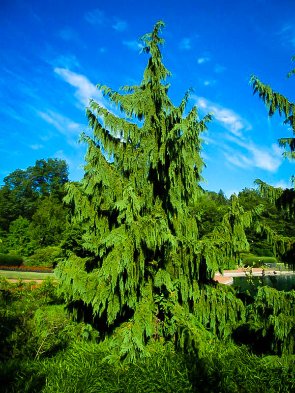 Weeping Alaskan Cedar For Sale Online The Tree Center